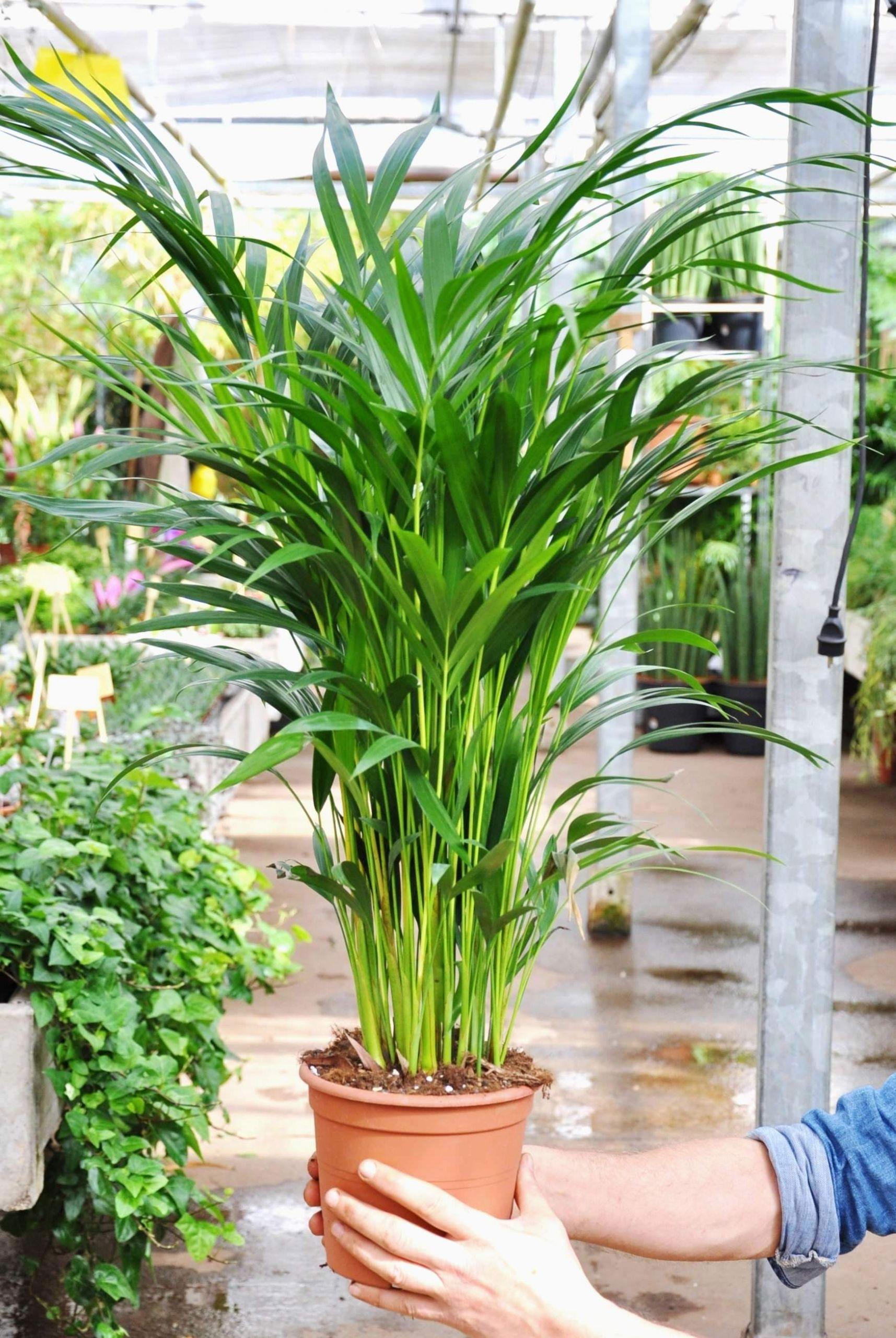 palme wohnzimmer luxus wohnzimmer palme ideen worauf sie achten sollten of palme wohnzimmer scaled