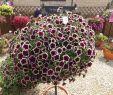 Japanische Deko Garten Luxus Petunia Cascadia Rim Magenta