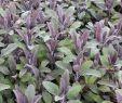 Japanische Gartengestaltung Schön Salbei Purpurascens Salvia Officinalis Purpurascens