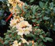 Japanischer Garten Deko Frisch Rhododendron Gordian • Rhododendron Hybride Gordian