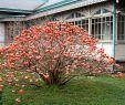 Japanischer Garten Deko Luxus Japanischer Papierstrauch Red Dragon