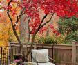 Kleingarten Gestaltungsideen Elegant Japanischer Ahorn Im Garten – 50 Gestaltungsideen