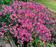 Mediteraner Garten Luxus Kissen aster Rosa