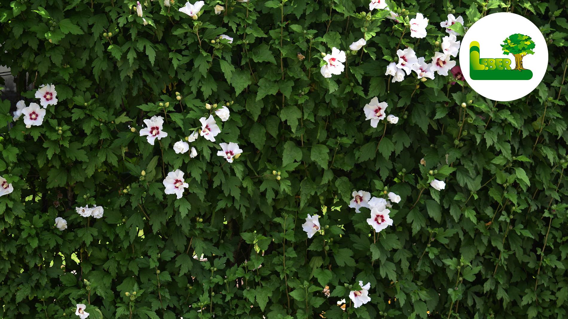 hibiskus hecke