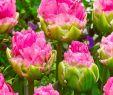 Online Gartenshop Best Of Double Arosa