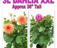 Online Gartenshop Schön 3l Dahlias Xxl P2