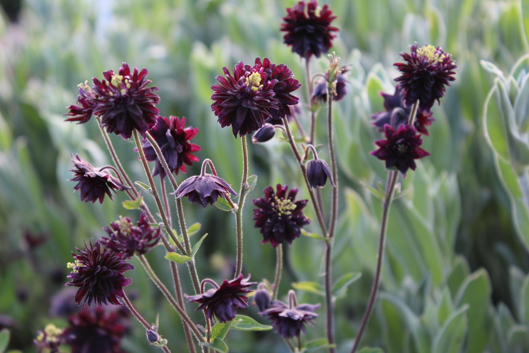 kurzs ige garten akelei aquilegia vulgaris black barlow aquilegia vulgaris blackbarlowqY3YVrDH8PiTE