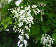 Otto Versand Garten Inspirierend Amerikanisches Gelbholz • Cladrastis Lutea