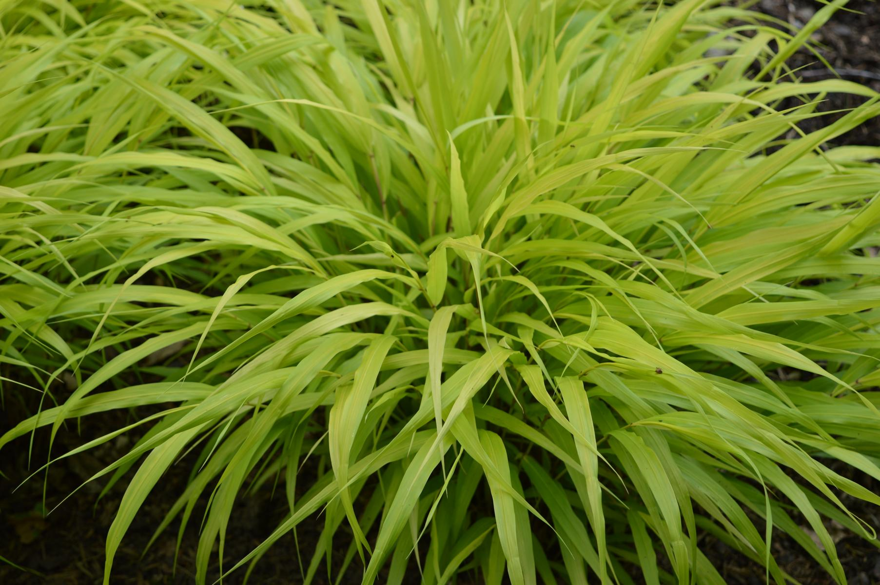 garten ziergras all gold hakonechloa macra all gold f