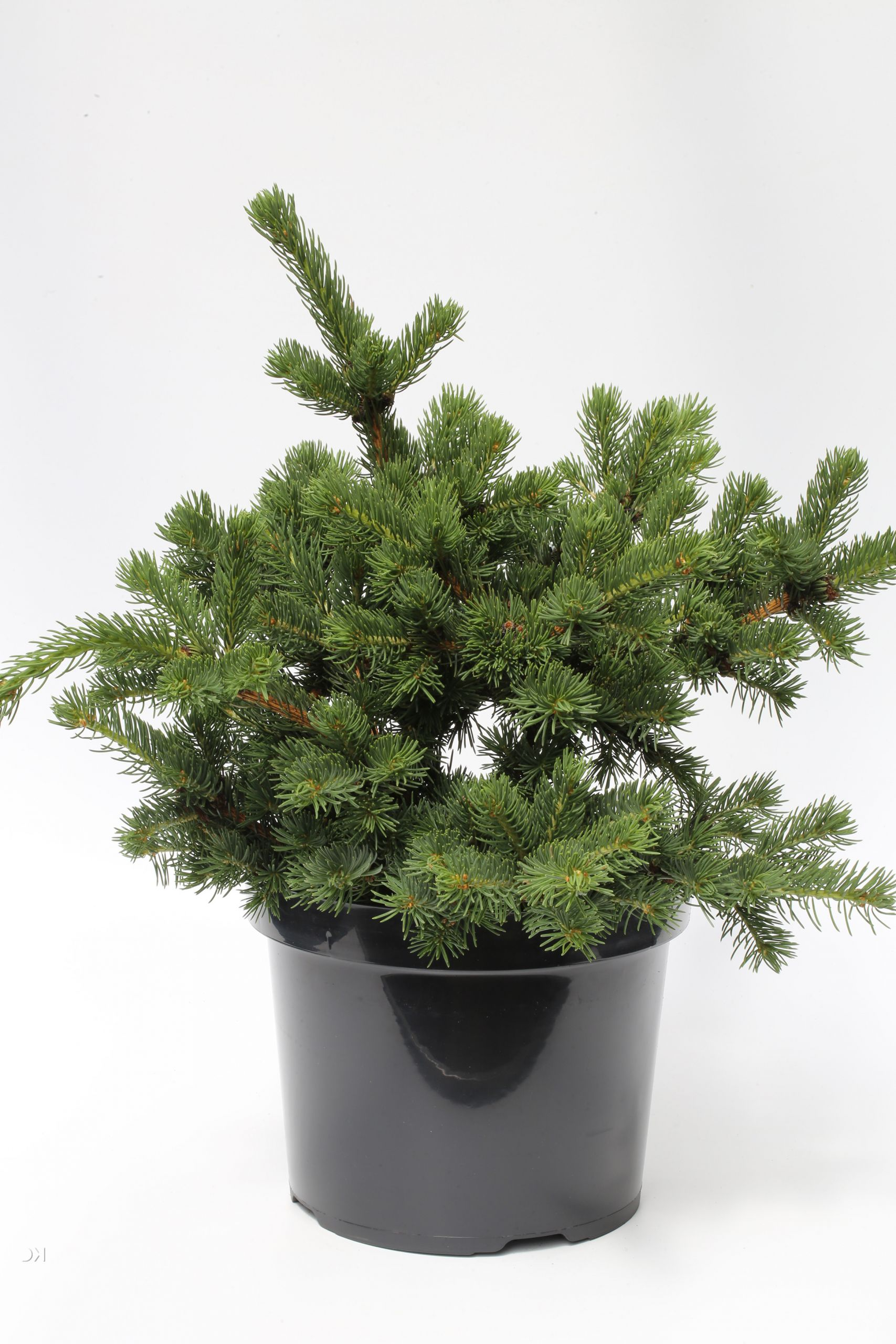 Picea pungens Lucky Strike 1S1B2884 1280x1280 2x