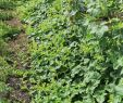 Pflanzen Garten Genial File Horngurke Kiwano Cucumis Metuliferus Im Garten
