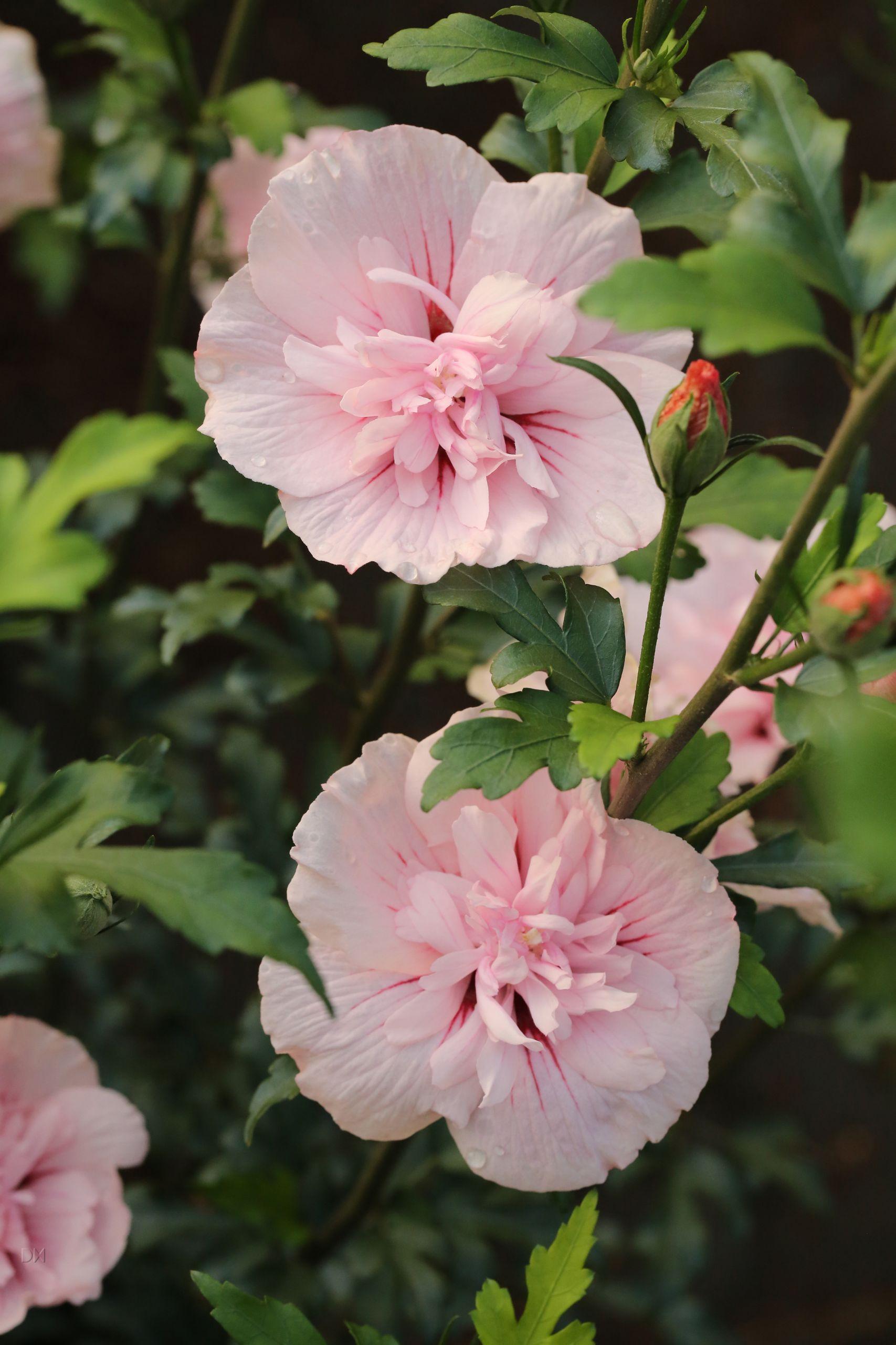 Hibiscus syriacus Pink Chiffon S 1S1B AyRcm8psH2Hn