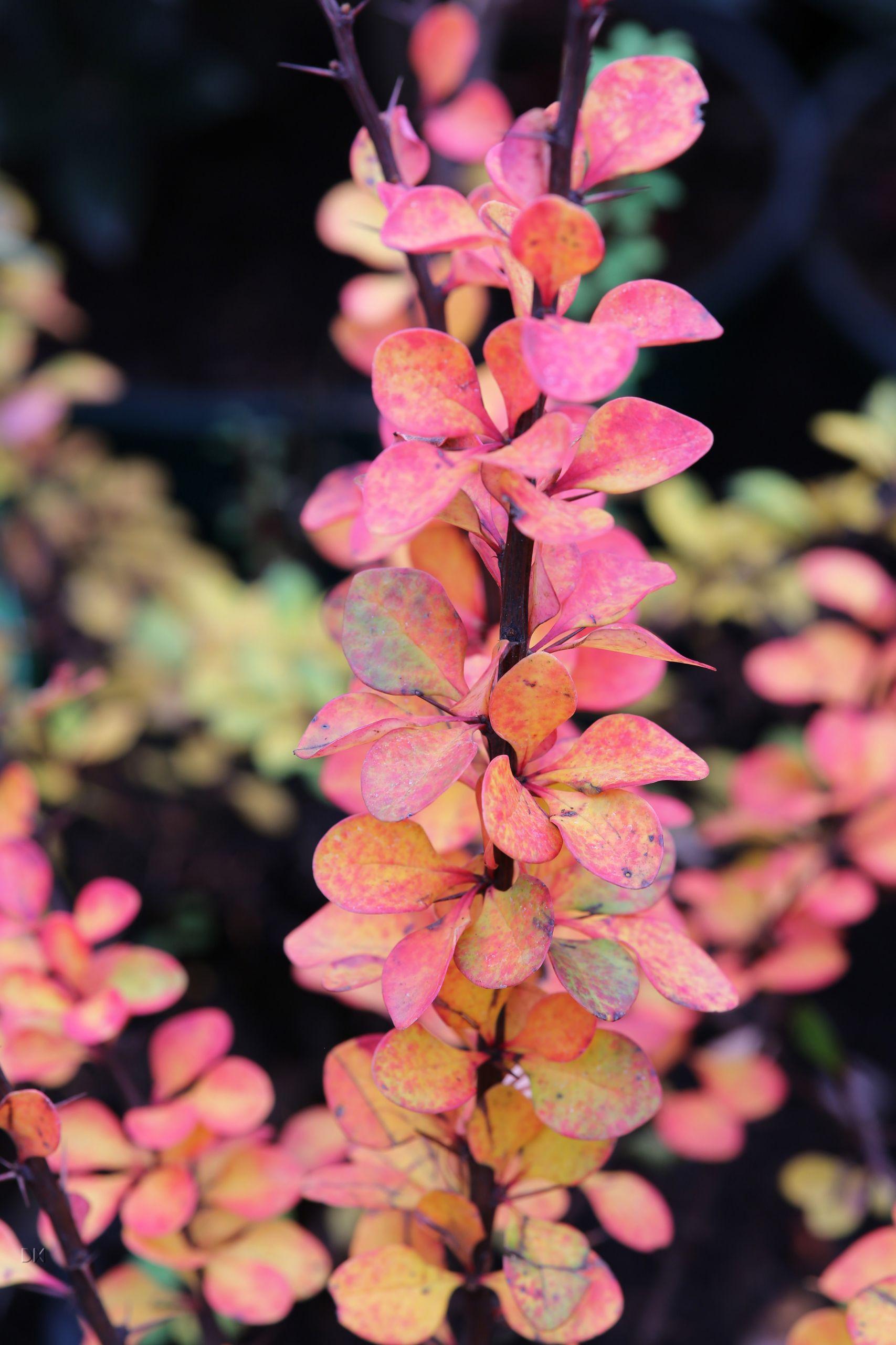Berberis thunbergii Atrpurpurea Herbstfaerbung Detail 1S1B4261bSg1XTSsOqMch