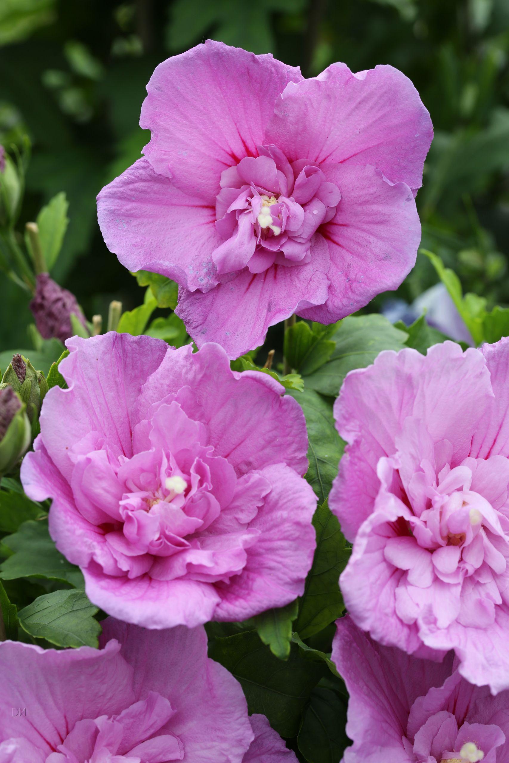 Hibiscus syriacus Lavender Chiffon Notwoodone PBR 1S1B4446