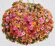 Pflegeleichte Gartenpflanzen Elegant Mini Hänge Petunien Chameleon Pink Passion