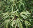 Pflegeleichte Gartenpflanzen Inspirierend Schirmbambus