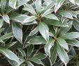 Pflegeleichte Gartenpflanzen Schön Schattenglöckchen Little Heath