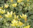 Pflegeleichte Pflanzen Garten Inspirierend Gartengestaltung Gartenpflanzen Gartenideen Winterlinge