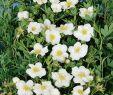 Pflegeleichte Pflanzen Garten Neu Fingerstrauch Snowbird Potentilla Fruticosa Snowbird