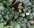 Pinterest Garten Einzigartig ФайРMaranta Cristata Maranta Bicolor Botanischer Garten
