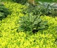 Pinterest Garten Schön Shade Planting Hostas Surrounded by Creeping Jenny Shade