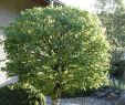 Rostartikel Für Garten Einzigartig 10 Tipps Zur Gartengestaltung Mit Bäumen Mein Schöner Garten