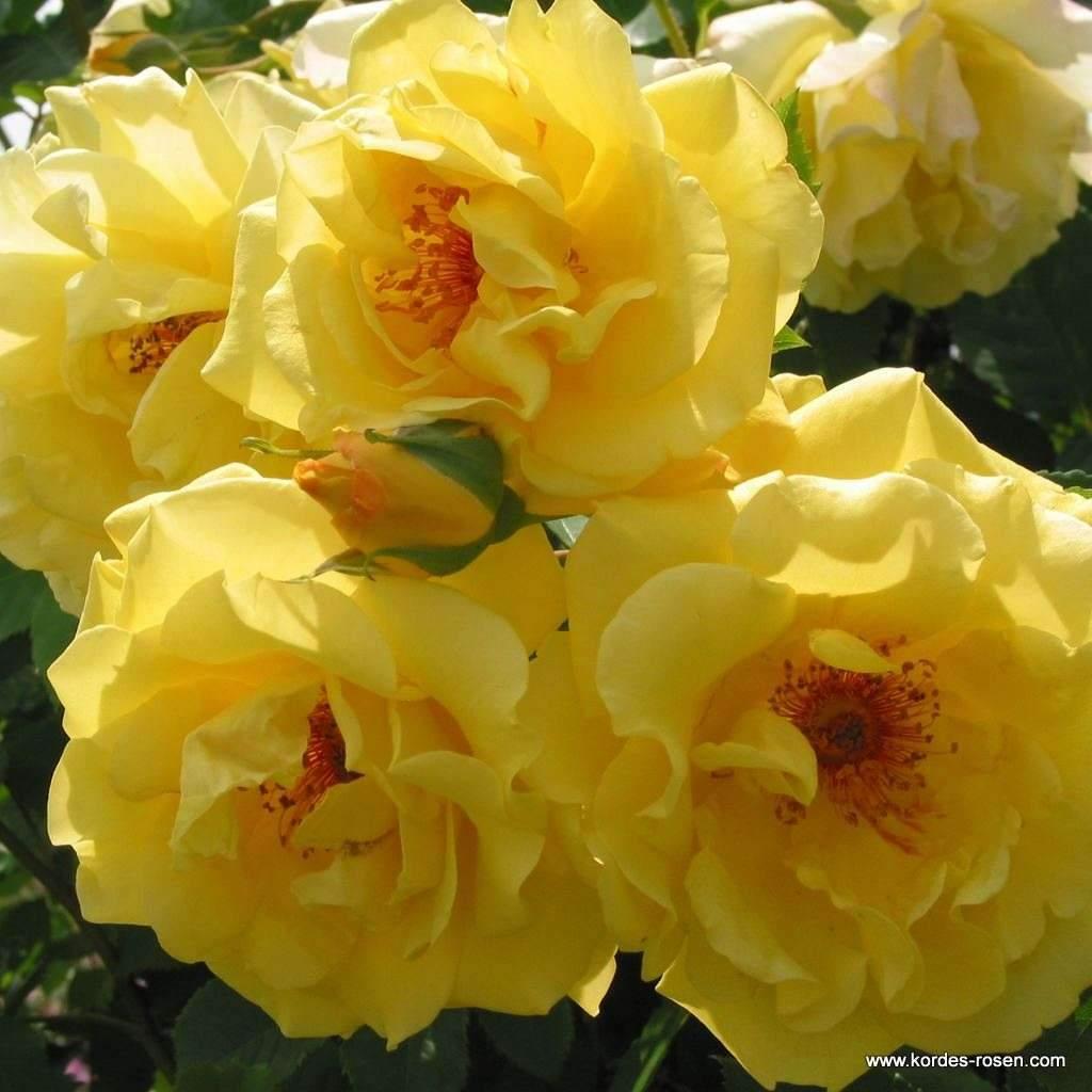 rosen im garten elegant golden gate of rosen im garten
