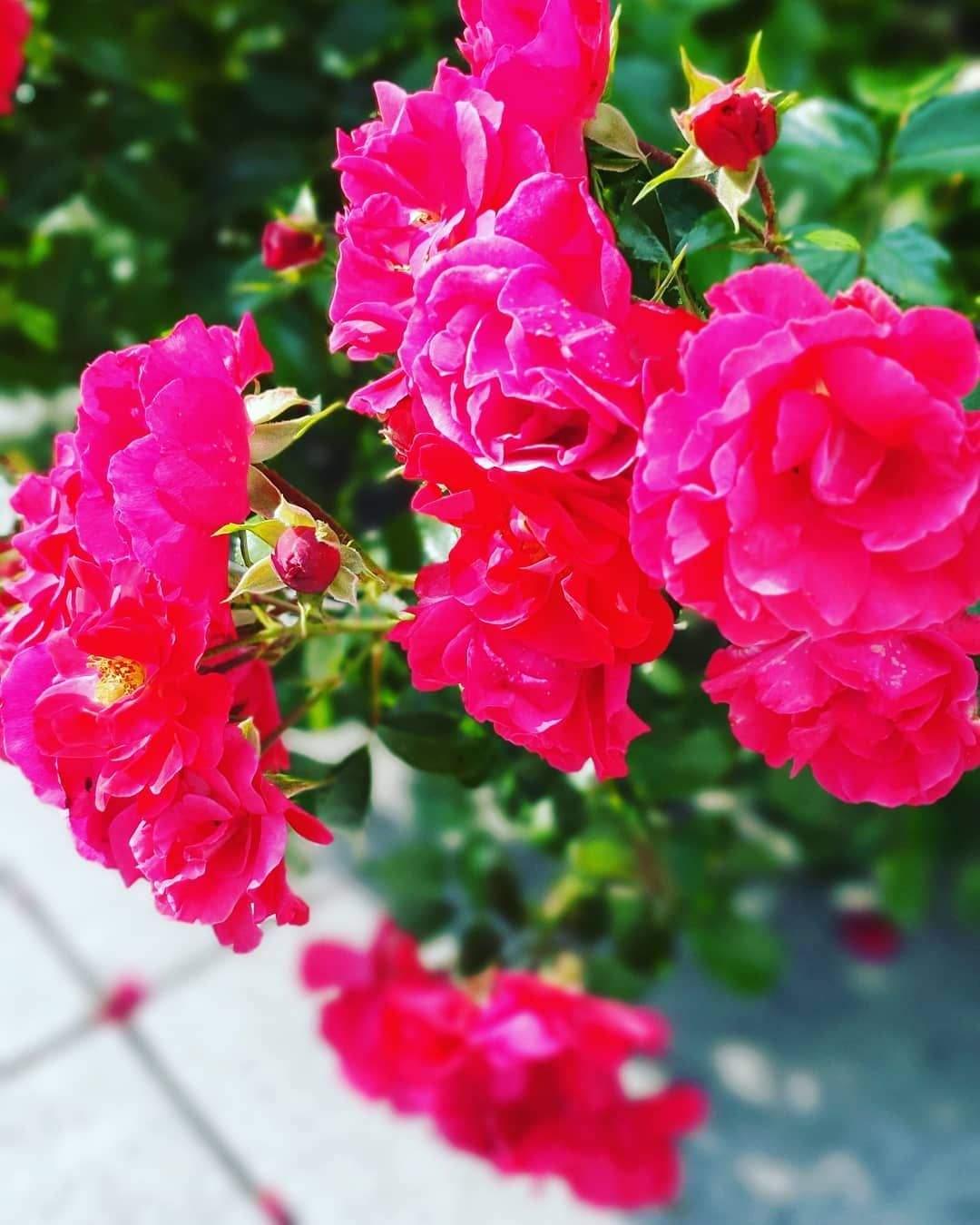 rosen im garten genial rosen rosa garten gartenzeit 2019 august pflanzen rosaroaen of rosen im garten