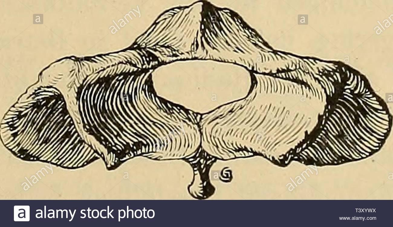 archive image from page 208 of pithecanthropus schichten auf java geologische pithecanthropus schichten auf java geologische und palontologische ergebnisse der trinil expedition 1907 und 1908 ausgefhrt mit untersttzung der akademischen jubilumsstiftung der stadt berlin und der kniglich bayerischen akademi der wissenschaften pithecanthrop00sele year 1911 fig 5 atlas a von jhihoisia b von cervus lydelclceri 2s nat gr krzer als bei der antilope der obere bogen krzer als der wirbelkrper und hinten nur wenig rund lich ausgeschnitten bei ser umgekehrt der ober T3XYWX