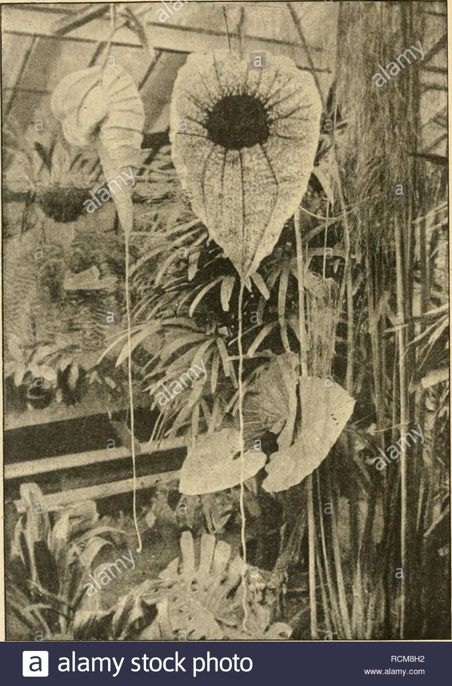 gartenwelt gardening 164 gartenwelt xxiii 20 gepflanzt gedeiht se seltene pflanze mit ihrer bohnenhn lichen belaubung fast mhelos im herbst sind triebe stark zurckzuschneiden und pflanze ist dann bis zum mrz nur wenig zu bewssern vermehrung erfolgt im frhjahr und sommer durch stecklinge aufnahme stammt aus der privatgrtnerei der frau kommerzienrat schtte in berlin steglitz einer begeisterten frderin des gartenbaues welchen nun sehr vorsichtig in eine durchlochte orchideenschale schon anfang april reichte der platz in dem einen geviertmeter gr RCM8H2