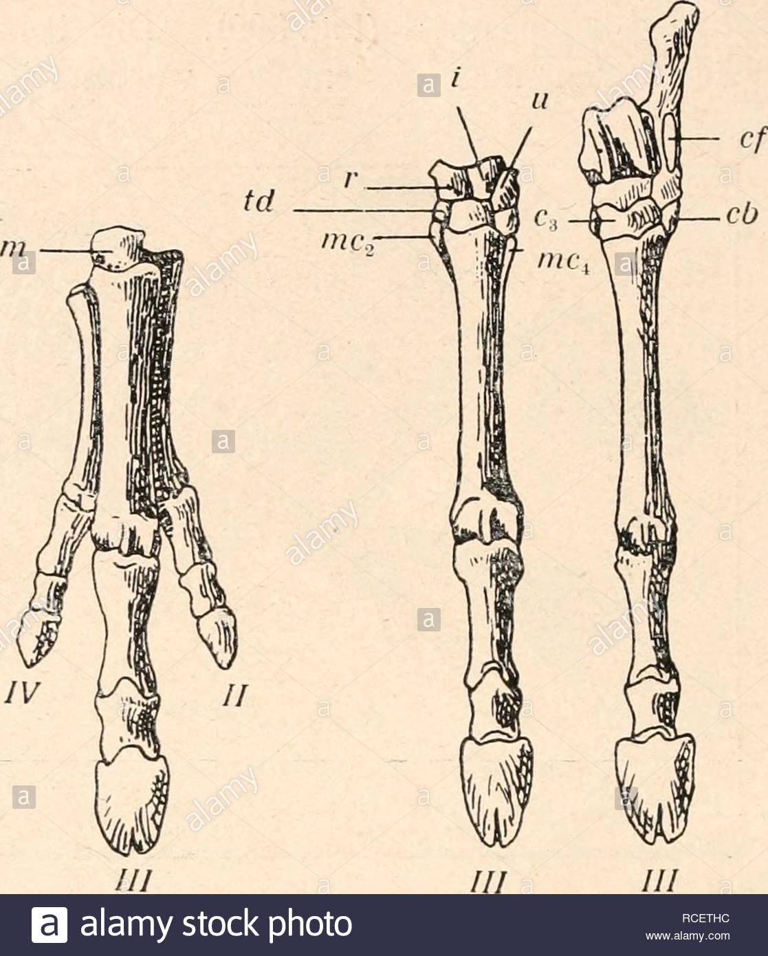 stmme der wirbeltiere evolution paleontology vertebrates 111 b fig 598 a theosodon lydekkeri amgh hinterfu v4 nat gr b proterotherium intermixtum hand ebendaher c thoatherium crepidatum hand und fu ebendaher 13 nat gr nach f ameghino santa cruz beds patagonien v3 nat gr cf fazette fr fibula cb = cuboid td trapezoid m magnum carpale iii c = cuneiforme c2 c3 ca = calcaneus as = astragalus na = naviculare r = radiale = intermedium ii = ulnare mc = metacarpalia 77 = metatarsalia familien noch sehr wenig verschieden alle RCETHC