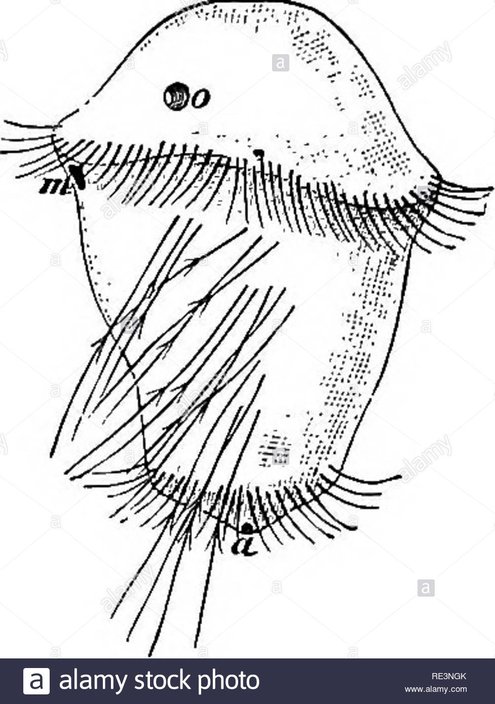 text book of zoology zoology fig 135 fig 134 diagram of the reproductive apparatus of an earth worm the animal is dissected from the mid dorsal line and spread out 814 8th to 14th bristle hearing seg ments 0 ovary od oviduct sb vesicula seminalis sg spermatheca t testis vd vas deferens vd its outer end ce receptaculum ovorum the transverse hnes represent the septaorig fig 135 larva of nereis a anus m mouth o eyeafter gotte a ual reproduction occurs in not a few members of both groups in some cases tbere is a simple transverse fission the animal divides RE3NGK