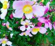 Schrebergarten Gestaltungsideen Best Of Euchinacea sonnenhut Anemone Windrösschen Meingarten