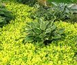 Stauden Garten Genial Shade Planting Hostas Surrounded by Creeping Jenny Shade