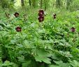 Stauden Garten Luxus Garten & Terrasse Brauner Storchenschnabel Geranium Phaeum