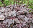 Stauden Garten Schön Garten Silberglöckchen Plum Pudding • Heuchera Micrantha Plum Pudding