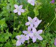 Stauden Garten Schön Teppichglockenblume Campanula Portenschlagiana Diese