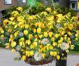 Steingarten Anlegen Elegant Clematis Little Lemons