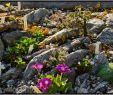 Steingarten Genial Alpine Rock Garden Mein Kleines Alpinum Ein Steingar