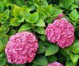 Sträucher Für Den Garten Inspirierend Schönheit Sträucher Für Den Garten Doppel Lila Pfingstrose