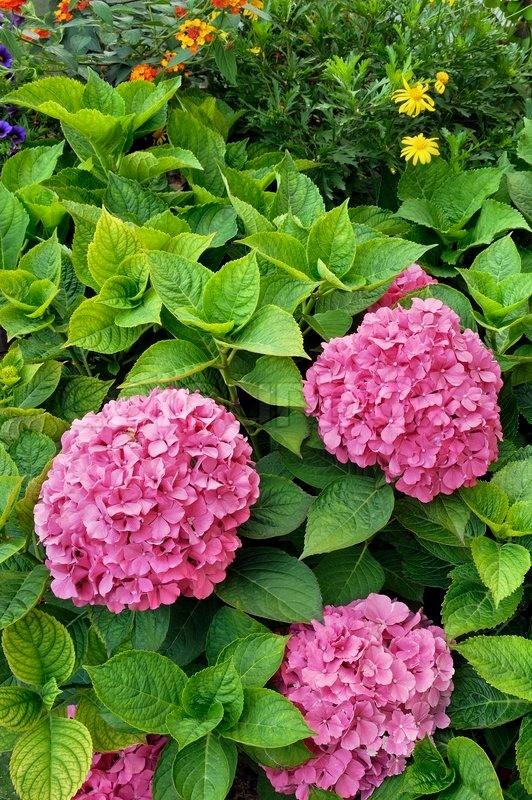 schonheit straucher fur den garten doppel lila pfingstrose blume str ucher baum aussaat samen 10 pack zier paeonia suffruticosa 640x640