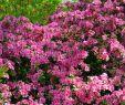 Sträucher Für Den Garten Luxus Bluehende Straeucher Fuer Den Garten Bl Hende Garten Str
