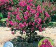 Sträucher Für Den Garten Schön Schönheit Sträucher Für Den Garten Doppel Lila Pfingstrose