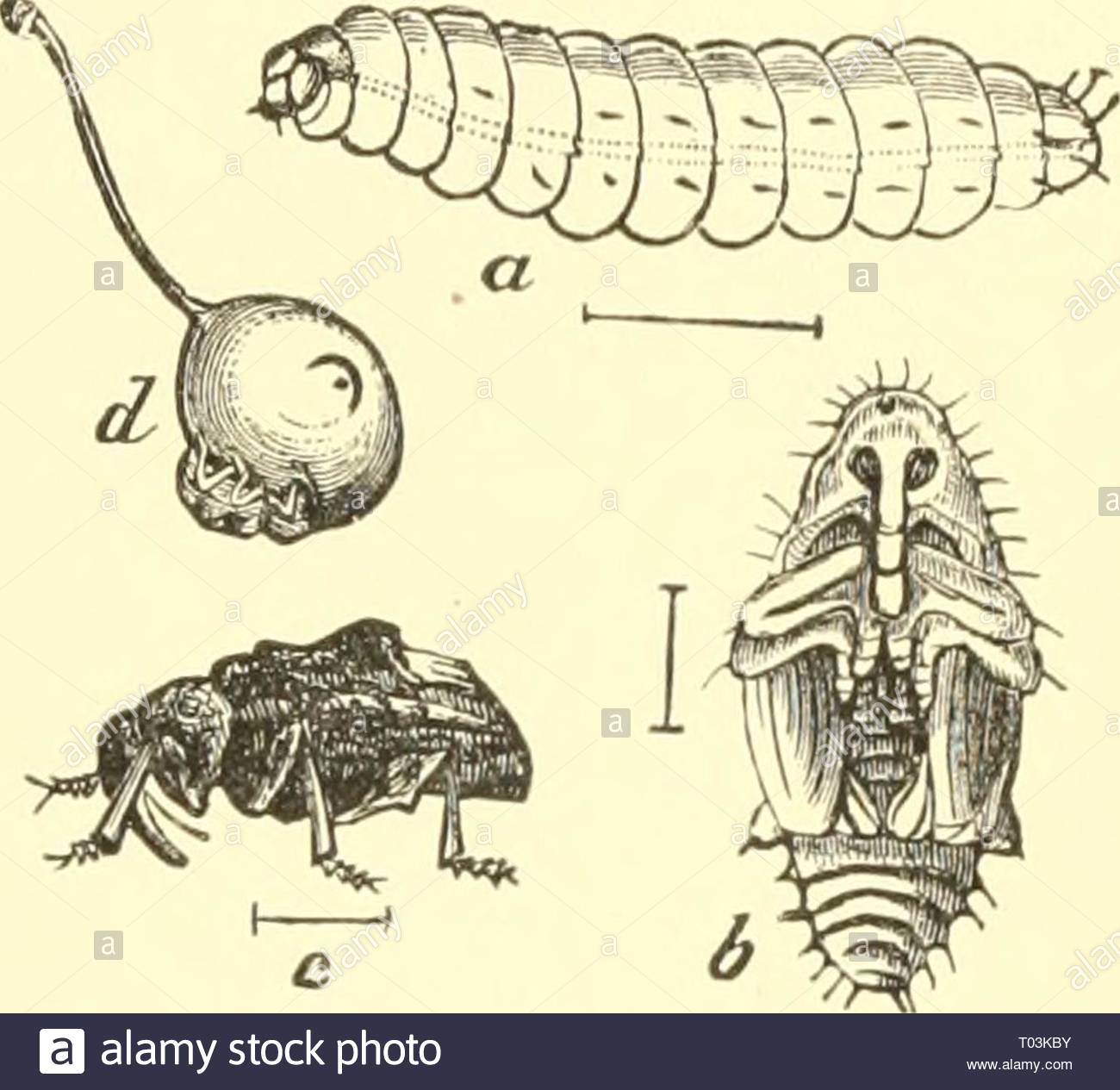economic entomology for the farmer and the fruit grower and for use as a text book in agricultural schools and colleges economicentomolo00smit year 1906 the insect world n3 fig 240 plum curculio cotiotraclirns iirini phara larva 3 pupa c adult luni show ing a crescent mark leaves of plum peach apricot cherry apple and pear when the fruit has set and be e of the size of a marble the insect makes a crescent shaped slit elevating a small flap from the sur rounding tissue and in this it lays an g the latter hatches in a few days and the whitish grub lik T03KBY