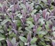 Terrasse Beet Gestalten Elegant Salbei Purpurascens Salvia Officinalis Purpurascens