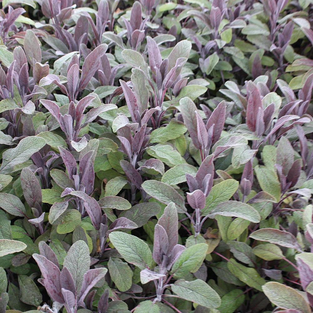 Salvia Purpurascens eins