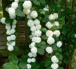 Terrasse Mit Blumen Gestalten Einzigartig Climbing Hydrangea