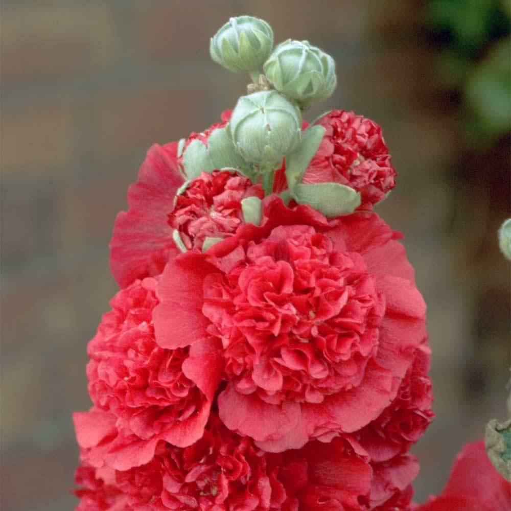XXXalcea rosea pleniflora chaters rot 1 500x500 2x