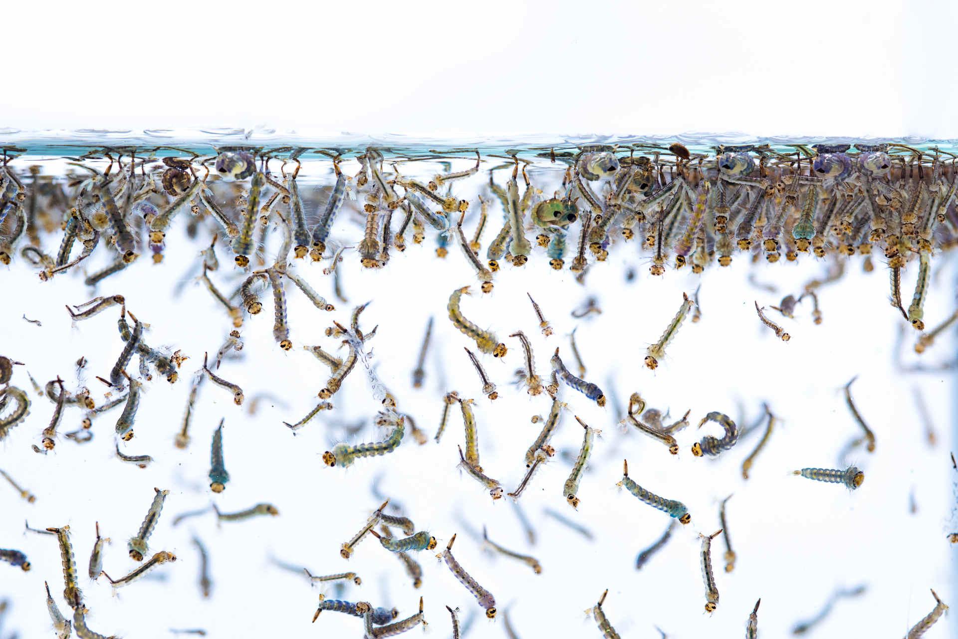 Stechmücken bekämpfen Larven