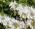 Tipps Zur Gartengestaltung Inspirierend Indianernessel Schneewittchen Monarda Fistulosa